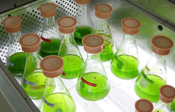 microalgues en laboratoire