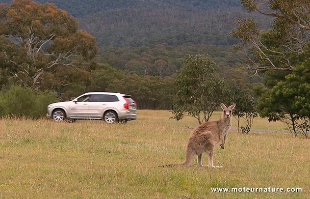Volvo XC90 et kangourou